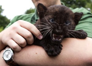 Baby black panther thinks you should buy Generation V. Who can argue with baby black panther?