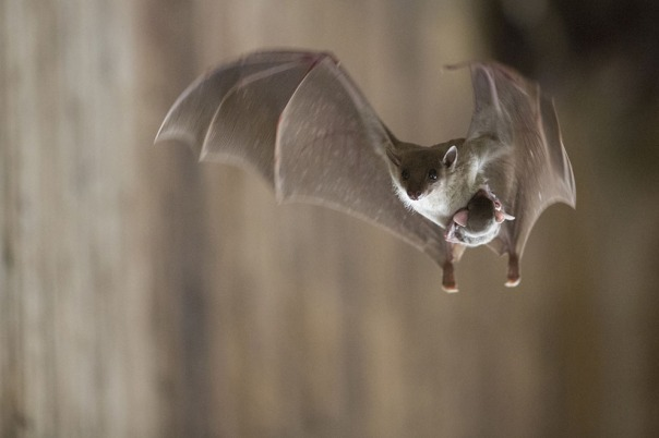 Choosy bat mothers choose Generation V for their adorable clinging bat babies!