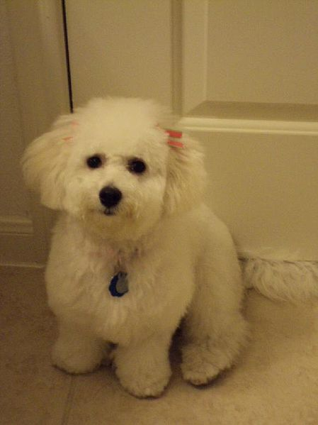 This is one of my reference photos from when I was writing Iron Night. Look at that adorable little Bichon Frise – it wants you to buy a copy of Generation V