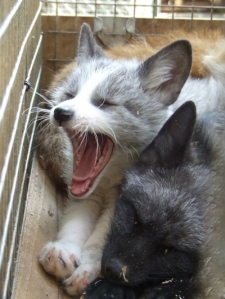 Not being on the cover would bother baby fox more if she wasn't so busy yawning and looking adorable.