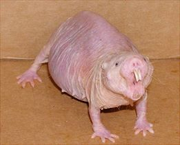 Halloween Naked Mole Rat implores you to pre-order Iron Night!