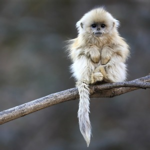 You can no more resist those low prices than you can resist the adorable golden snub nose monkey!