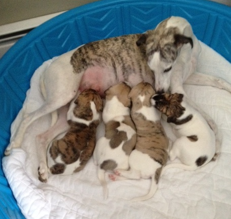 The puppies continue to grow. With their mother as a convenient size reference, observe their terrifying growth rate. There's starting to be a concern that these puppies are the whippet versions of Babe the Blue Ox. And we all know how that ended – in tragedy and a year's worth of steak.
